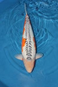 2478-Juan-Surabaya-Good One Koi-Surabaya-Shusui-65 cm-F-Good One Koi