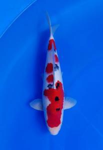 2188-Wandi Angkasa Koi-Jambi -San Cherry Koi Centre-SUKABUMI-sanke-35cm-SCK