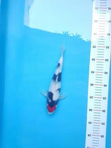 2723-Muljadi-tulungagung-jhesen-tulungagung-tanco-28cm-male-muljadi