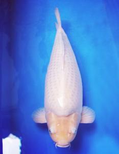 2235-Teddy prasena-palembang -tasikigoi-tasikmalaya- soragoi -62cm-male -breed tasikigoi